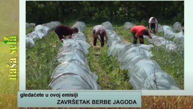 Photo of Naša sela: Pogoršavaju se uslovi pred žetvu
