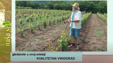 Photo of Naša sela: Kakva nas berba grožđa očekuje?