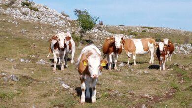Photo of Na Suvoj planini stado od oko 600 krava živi tokom leta ''sasvim prirodno''